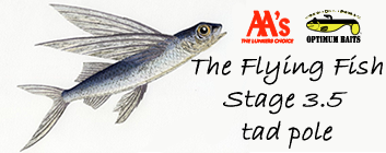 The Flying Fish, stage 3.5 tad pole has arrived!